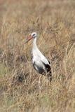 Weißer Storch im Gras Stockfotos