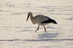 Weißer Storch im Schnee lizenzfreies stockfoto