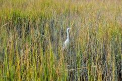 Weißer Storch im Sumpf Stockfotografie