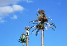 Weißer Storch in Marrakesch stockbild