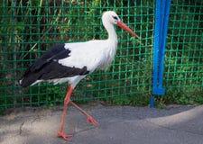 Weißer Storch mit den schwarzen Flügeln, die auf Straße im Zoo schreiten Stockfotos