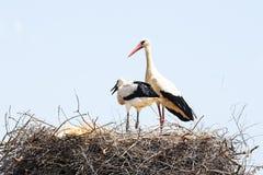 Weißer Storch mit ihrem Baby im Frühjahr Stockfotos