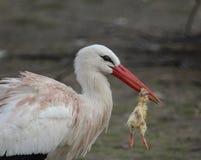 Weißer Storch mit Opfer stockfotografie