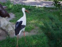 Weißer Storch mit schwarzen Flügeln geht auf Gras im Zoo Lizenzfreie Stockbilder