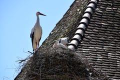 Weißer Storch mit zwei kleinen Storchvögeln im Nest auf dem Hausdach stockbilder
