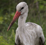 Weißer Storch - Nationalpark Kruger Lizenzfreie Stockfotografie
