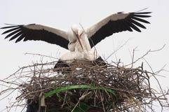 Weißer Storch-Paar-Anschluss Lizenzfreie Stockbilder