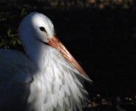 Weißer Storch-Portrait lizenzfreie stockfotos