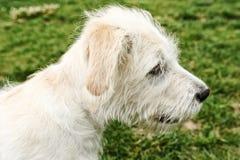 Weißer Terrier Lizenzfreies Stockfoto