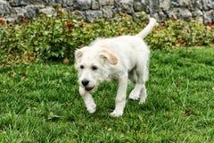 Weißer Terrier Stockfotografie