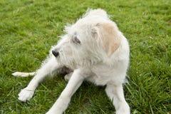 Weißer Terrier Stockbilder