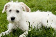 Weißer Terrier Stockbild