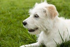 Weißer Terrier Lizenzfreie Stockfotos