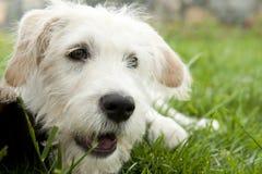 Weißer Terrier Lizenzfreies Stockbild
