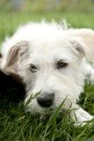 Weißer Terrier Lizenzfreie Stockbilder