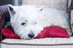 Weißer Terrier, der auf einem roten Kissen liegt Stockbild