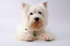 Weißer Terrier des Westhochlands Lizenzfreies Stockfoto