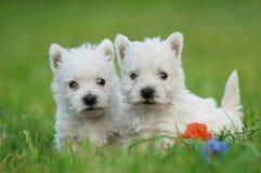 Weißer Terrier des Westhochlands lizenzfreie stockfotografie