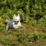 Weißer Terrier des Westhochlands Stockfotografie
