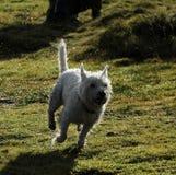 Weißer Terrier des Westhochlands Stockbilder