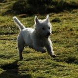 Weißer Terrier des Westhochlands Stockbild