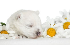 Weißer Terrier-Welpenschlaf in den Gänseblümchen Stockfoto