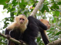 Weißer Throated Capuchin Stockbild