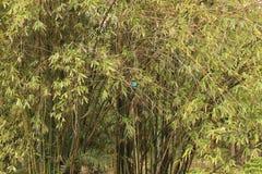 Weißer throated Eisvogel Stockfotos