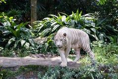 Weißer Tiger Stockfoto