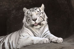 Weißer Tiger. Stockfotos