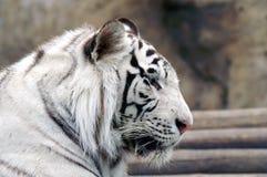 Weißer Tiger lizenzfreies stockbild