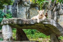 Weißer Tiger. Lizenzfreie Stockbilder
