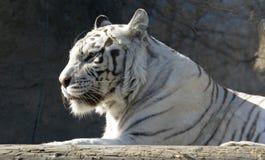 Weißer Tiger Stockfotografie
