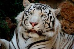 Weißer Tiger Stockbild