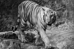 Weißer Tiger auf dem Prowl Lizenzfreie Stockbilder