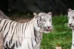 Weißer Tiger chiangmai Zoo Lizenzfreie Stockbilder