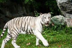Weißer Tiger chiangmai Zoo Stockfotografie
