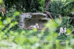 Weißer Tiger in der Höhle Stockfotografie