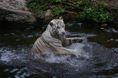 Weißer Tiger, der seine leistungsfähigen Tatzen im Wasser wellenartig bewegt lizenzfreies stockfoto