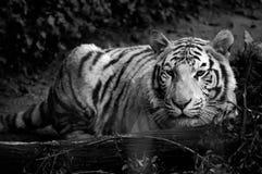 Weißer Tiger durch Protokoll Stockbilder