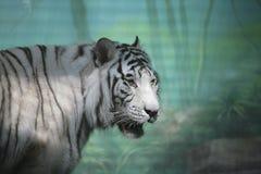 Weißer Tiger im Semidarkness Lizenzfreies Stockbild