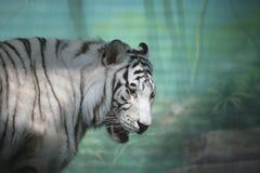 Weißer Tiger im Semidarkness Stockfotografie