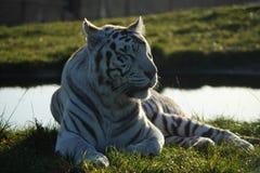 Weißer Tiger im Sonnenlicht Stockfotos