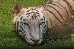Weißer Tiger im Wasser eines Sumpfabschlusses herauf Porträtkopfschuß Lizenzfreies Stockfoto