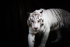 Weißer Tiger im Wildness lizenzfreie stockbilder