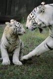 Weißer Tiger mit Schätzchen Lizenzfreie Stockfotos