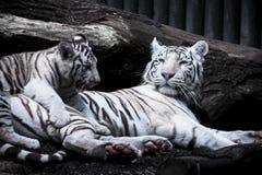 Weißer Tiger - Mutter mit Baby Lizenzfreies Stockbild
