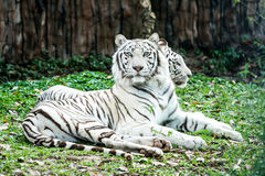 Weißer Tiger in nightsafari chiangmai Thailand Lizenzfreies Stockfoto