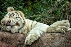 Weißer Tiger oder Bengal-Tiger, der auf dem Felsen schläft stockbilder