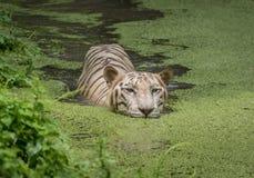 Weißer Tiger schwimmt im Wasser eines sumpfigen Sumpfs Weiße Bengal-Tiger werden bedrohte Art gehalten Lizenzfreie Stockfotografie